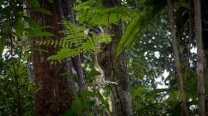 Malaien-Gleitflieger